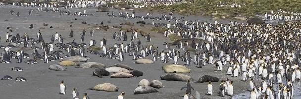 Colonia di pinguini reali a Gold Harbour, nell'isola della Georgia del Sud