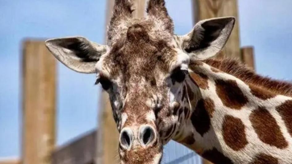News York. Soppressa la giraffa April. Aveva 20 anni e soffriva di artrite