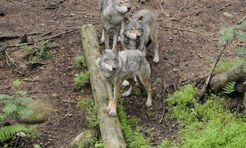 In Idaho si rischia una strage di lupi, passa una legge  per ucciderne fino al 90%